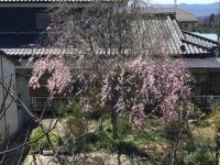 20200405桜