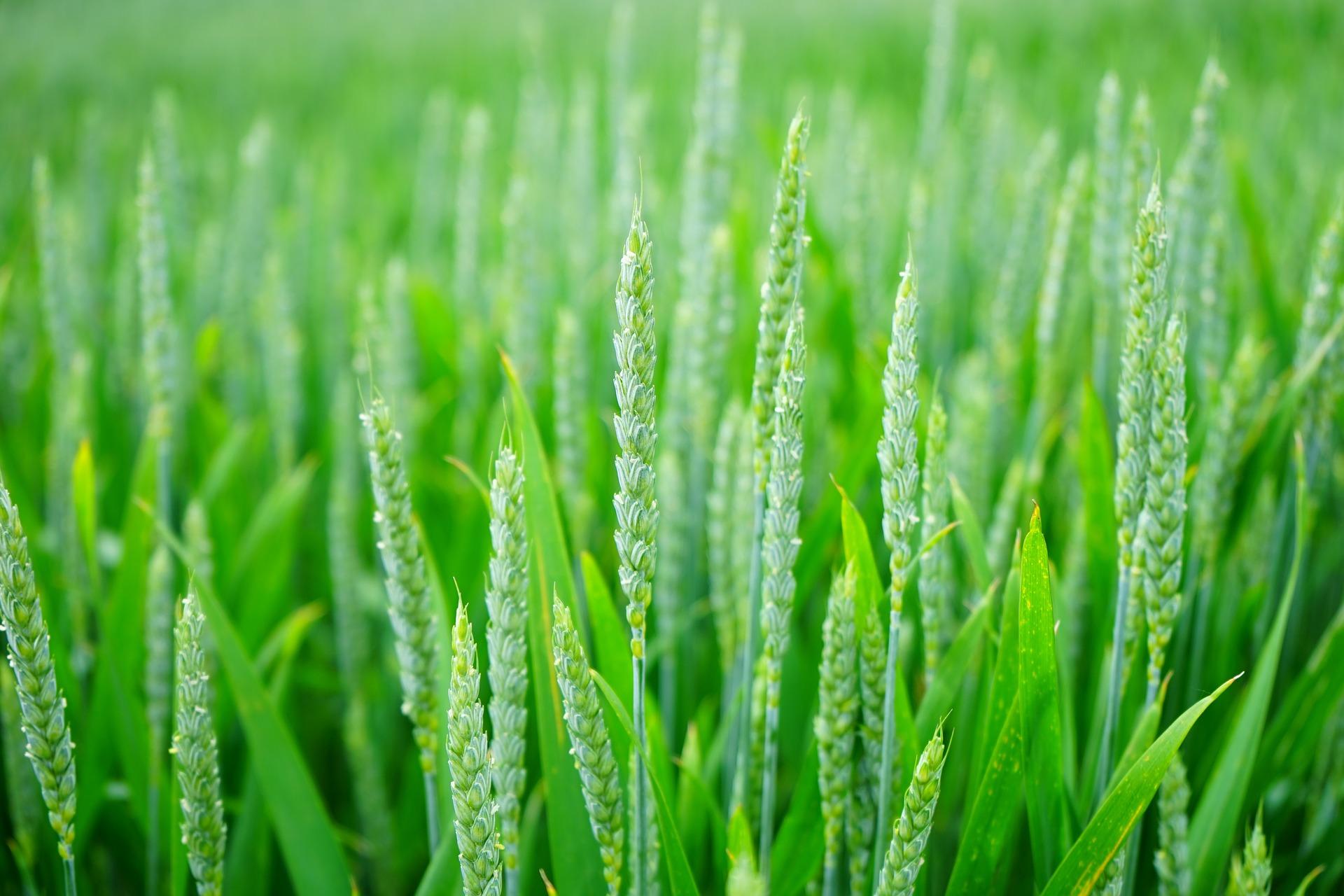 200923幸福と経済麦トウモロコシk