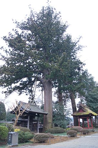 200226安楽寺の大杉①