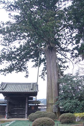 200226安楽寺の大杉②