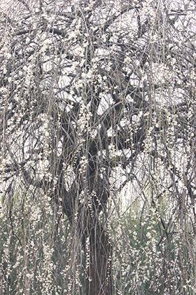 200226安楽寺の大杉⑥