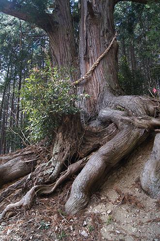 200326一本杉峠の杉①