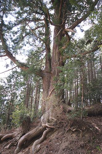 200326一本杉峠の杉②