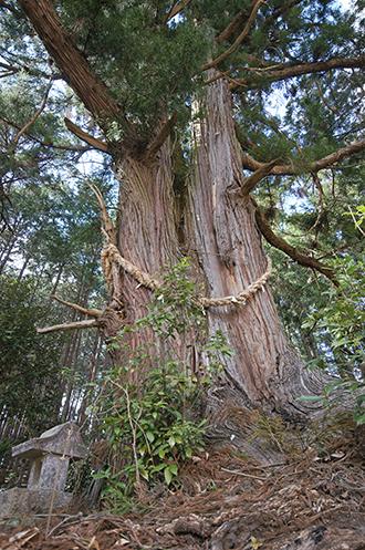 200326一本杉峠の杉③