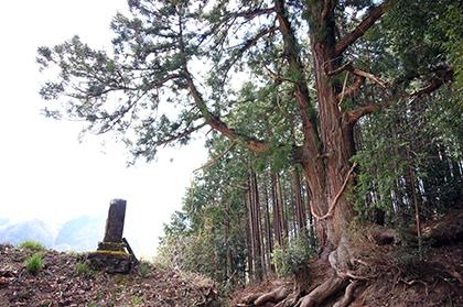 200326一本杉峠の杉④