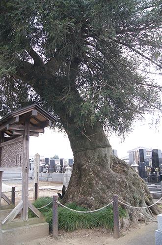 200327龍清寺のカヤ③