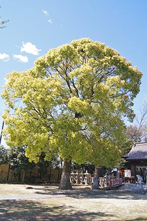 200419八條八幡神社楠①