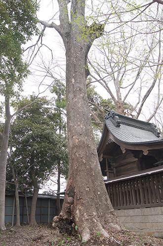 200421日枝神社欅①