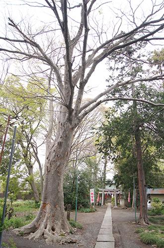 200421日枝神社欅②