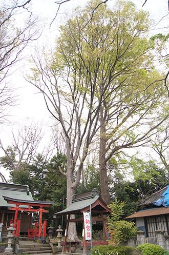 200421日枝神社欅④