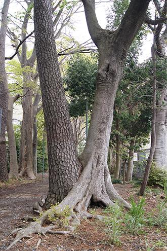 200421日枝神社欅⑥