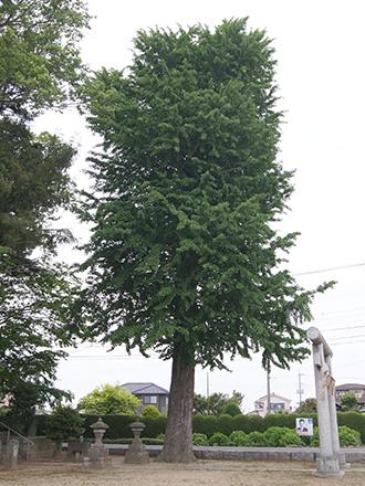 200512上赤岩香取神社銀杏③