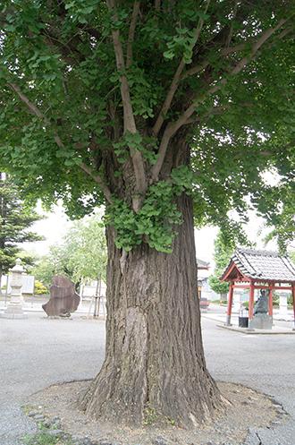 200512浄山寺銀杏②