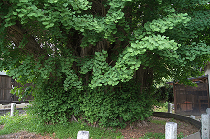 200515小松神社銀杏⑧