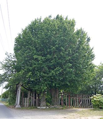 200515堂城稲荷銀杏①