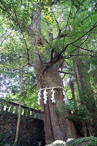 200607神川金鑚神社銀杏②