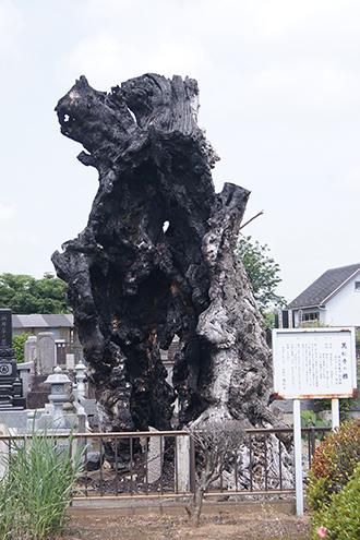 200525萬松寺のシイ①