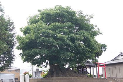 200525宮鼻八幡神社欅①