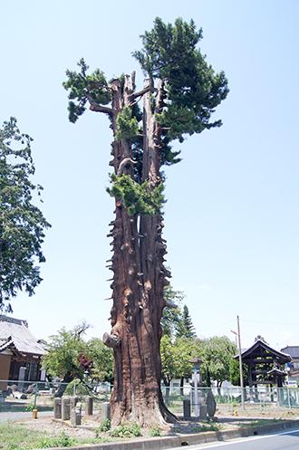 200607マキの大木①