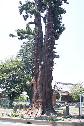 200607マキの大木③