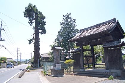 200607マキの大木④