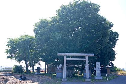 200607智方神社ケヤキ①