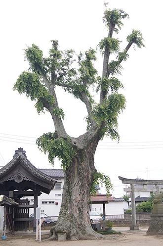 200618佐間天神社欅①