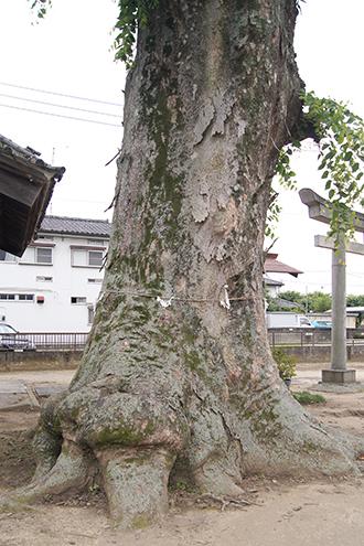 200618佐間天神社欅②