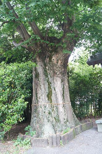 200618馬見塚神明社欅③