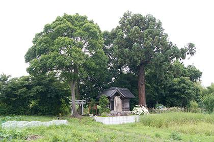 200621田長神社大杉①