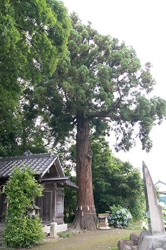 200621田長神社大杉②
