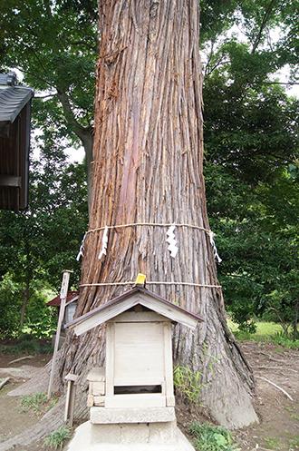 200621田長神社大杉⑨