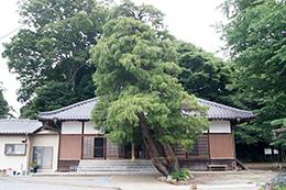 200621永明寺イチョウ⑥