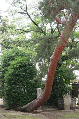 200624總願寺アカマツ