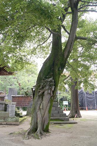 200624總願寺エノキ