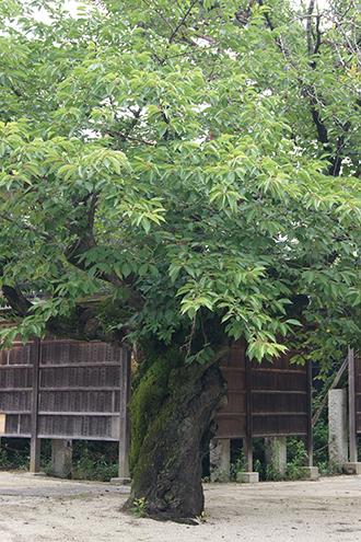 200624總願寺ソメイヨシノ