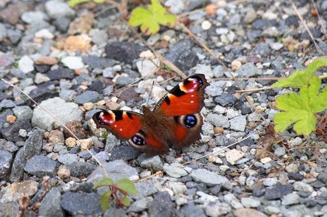 s-⑫蝶々