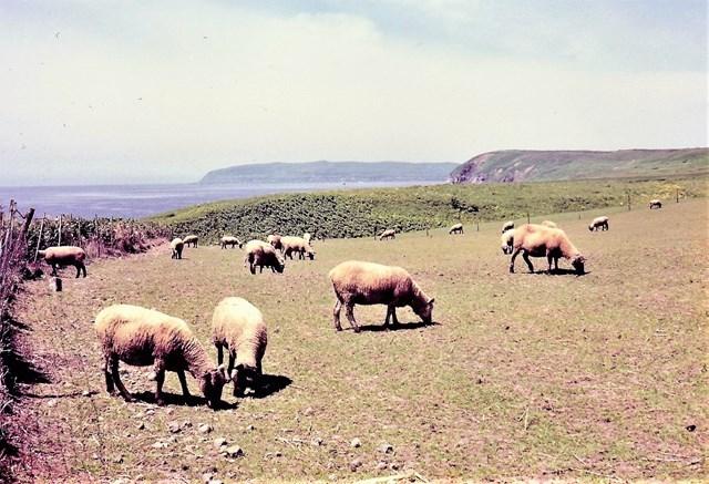 s-⑫綿羊牧場