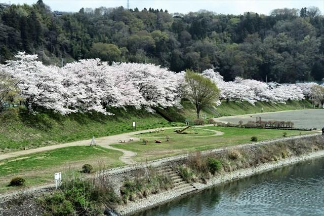 s-⑩桜満開の川辺