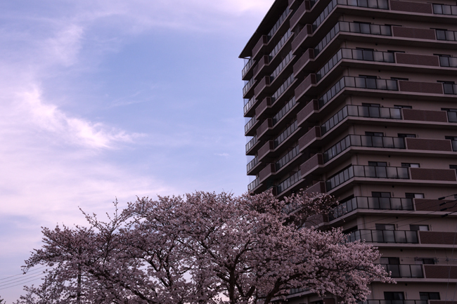 chiyosakurasan13.jpg