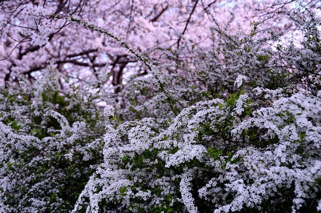 chiyosakurasan14.jpg