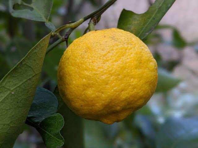 茨城県の自然 柚子