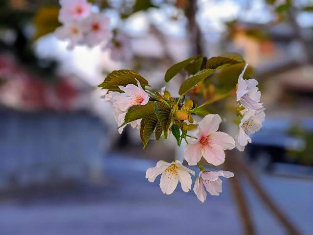 桜 印相体