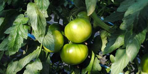 4-6トマト2