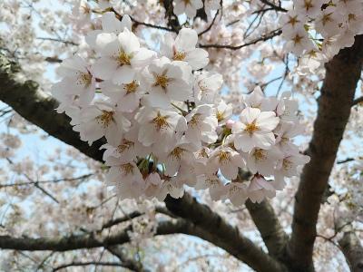 20204月桜の1