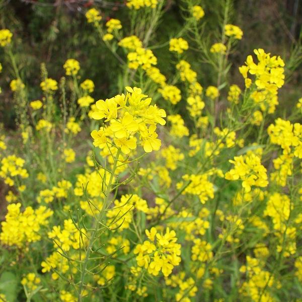 600菜の花200322