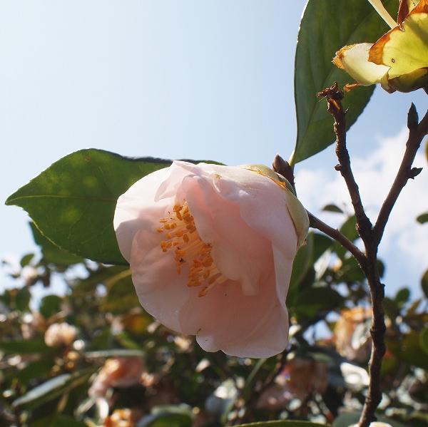600椿の花と地面1