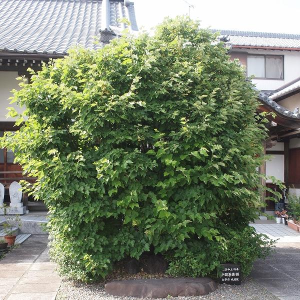 800菩提樹202006