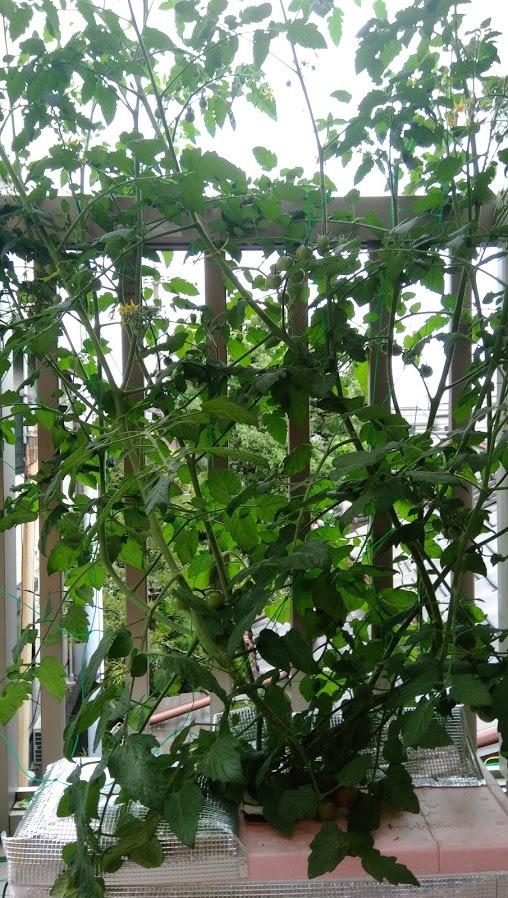 600ミニトマト成長具合