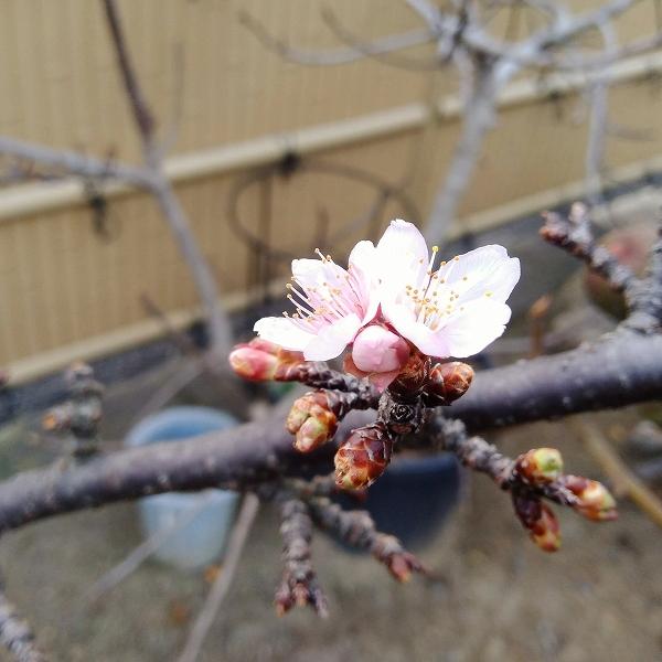 600寒桜咲く202012292